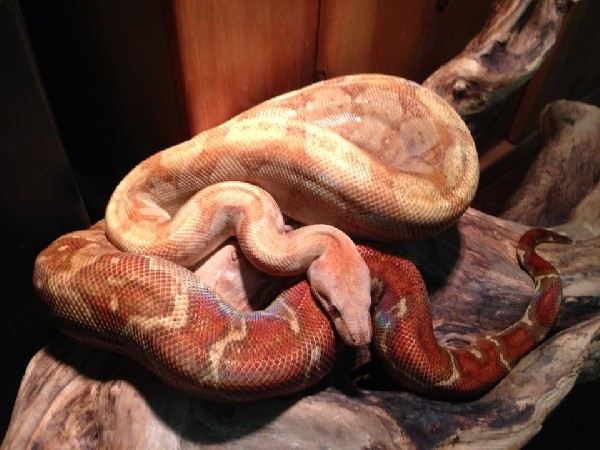 Boa Constrictor, uploaded by kingsnake.com user biophiliacs