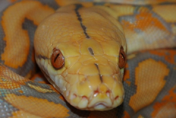 Photo: Reticulated Python