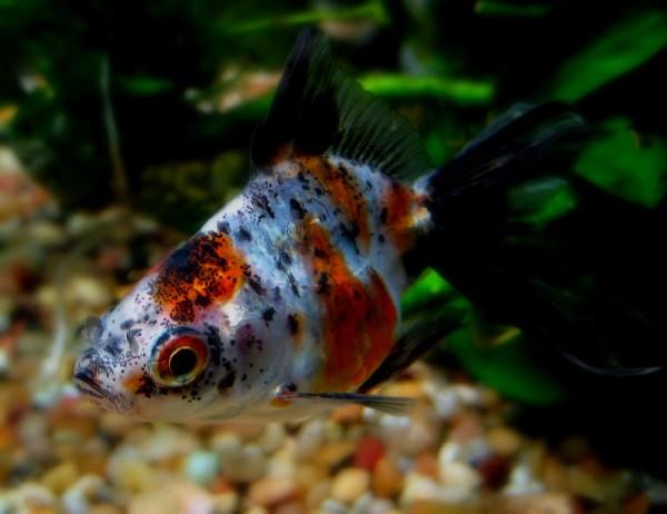 Calico Ryukin - Freckles closeup
