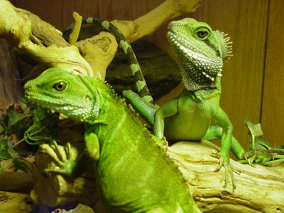 female water dragons