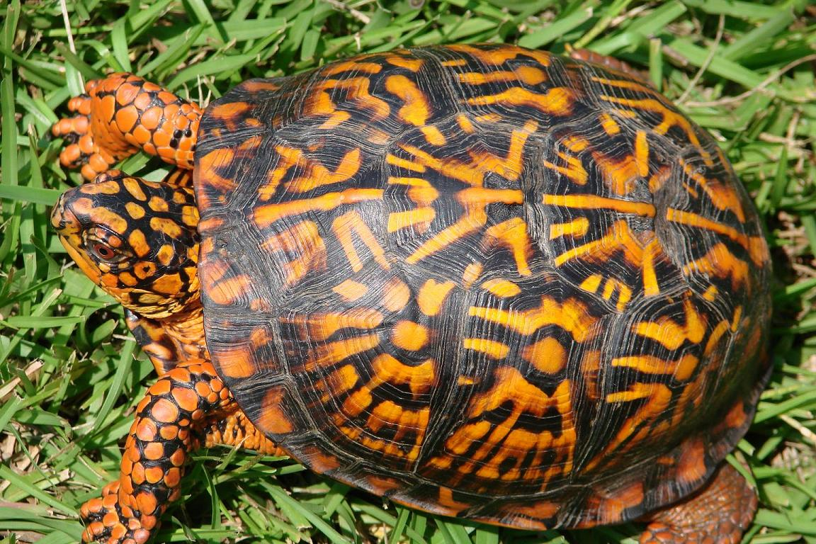 Box turtle, uploaded by kingsnake.com user BlueKing