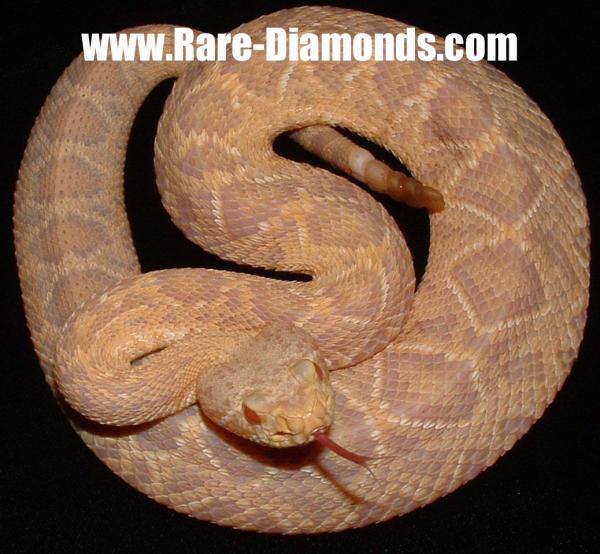 Captive Born/Bred neonate Albino EDB