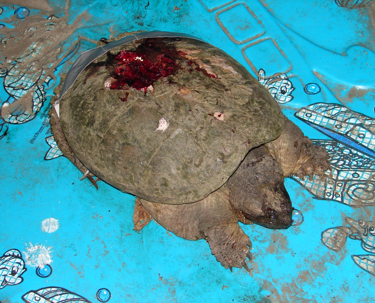 May I Present… My 2014 Turtle Dream Team! | Wildlife ... |Snapping Turtle Injuries Humans