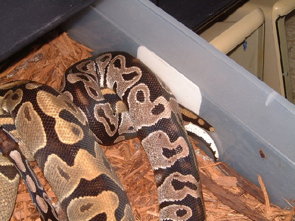 Axanthic x Ghost