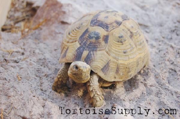 Golden Greek Tortoise
