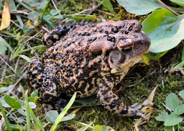 Toad, uploaded by kingsnake.com user galen