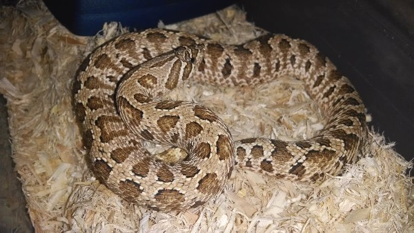 Hognose Snake, uploaded by kingsnake.com user caracal