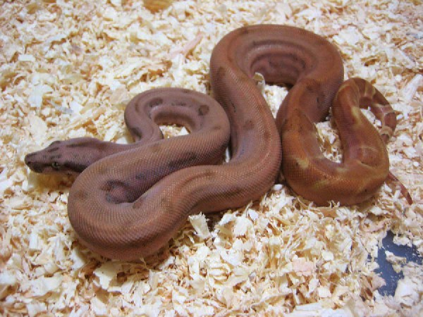 Sunset Boa, uploaded by kingsnake.com user  lostworldproductions