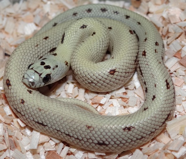 Cornsnake x Nelson's Milksnake, uploaded by kingsnake.com user mesozoic
