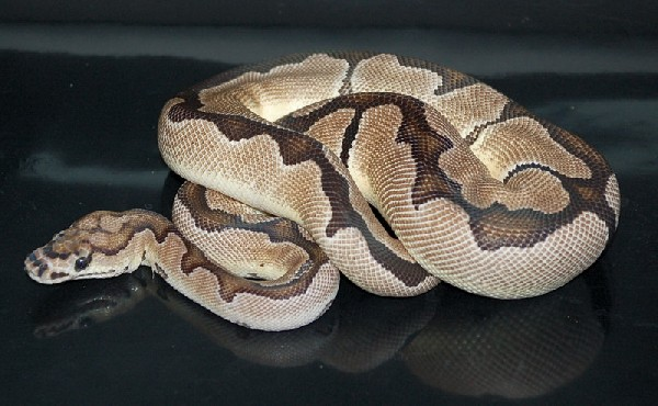 Axanthic Clown Ball Python | www.imgkid.com - The Image ...