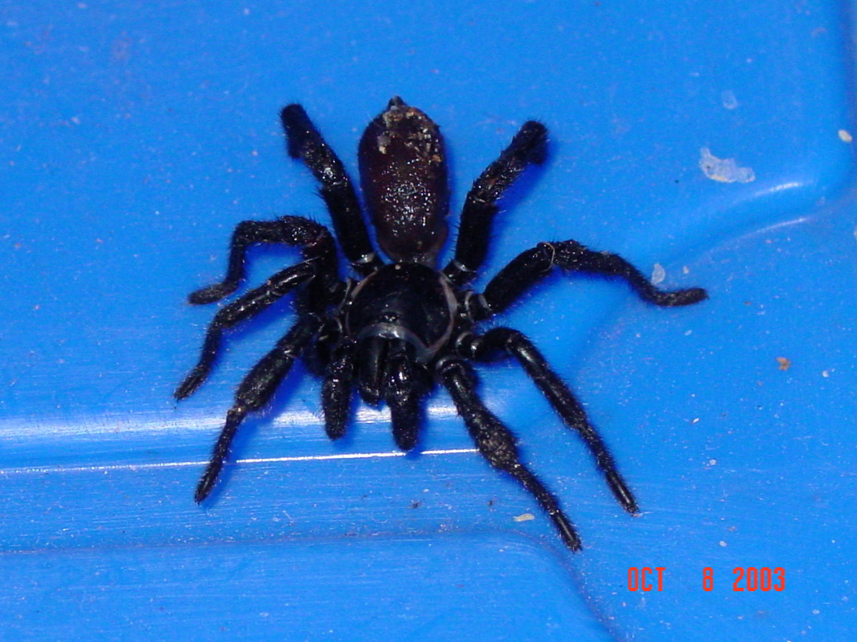 Kingsnake Com Photo Gallery Gt Spiders Gt Spider