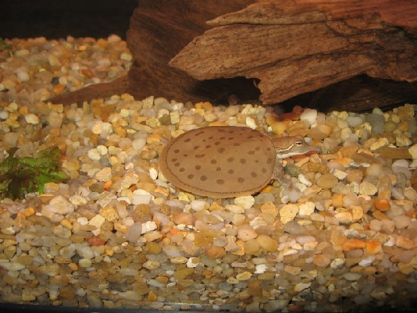 Hatchling Gulf Coast Spiny Softshell