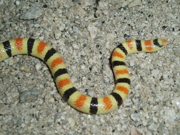 Shovel-Nosed Snake, uploaded by kingsnake.com user Uncloudy