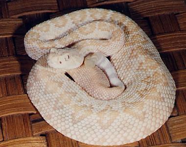 Albino atrox
