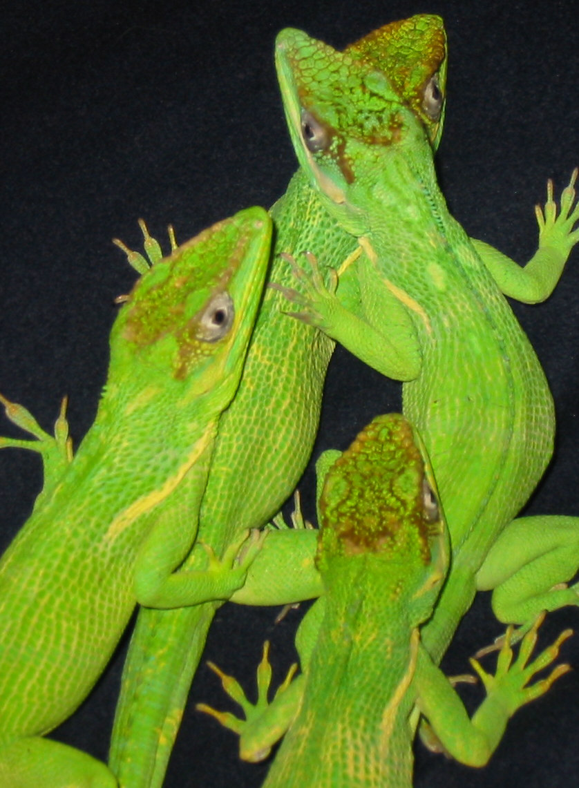 Anoles, uploaded by kingsnake.com user ReptileLove