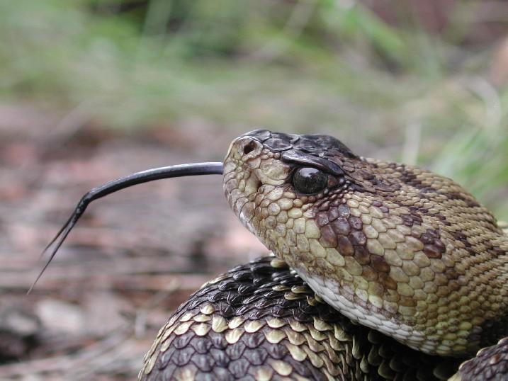 Blacktail closeup