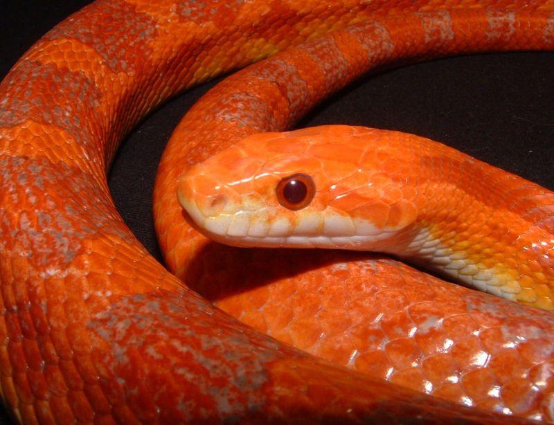lava corn snake - photo #5