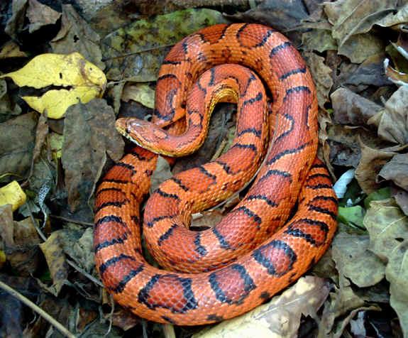 Photo: Corn snake