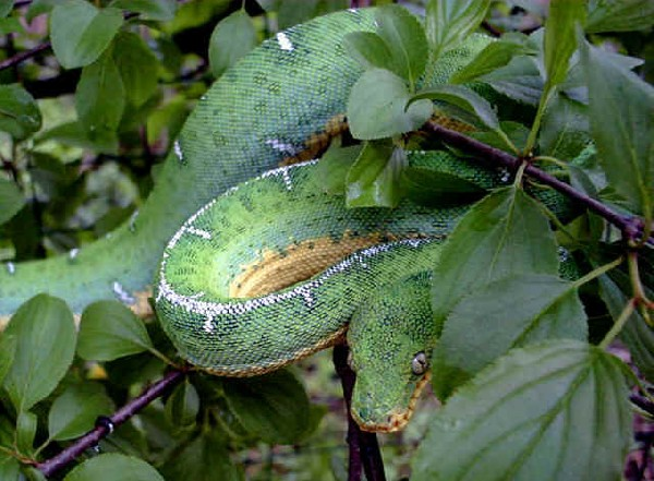 Photo: Emerald Tree Boa