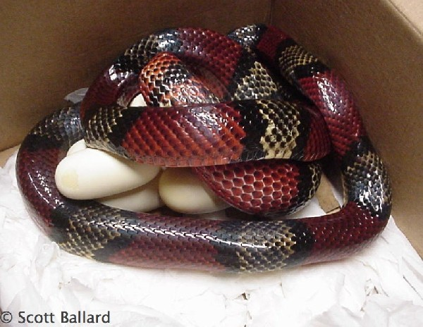 Milksnake, uploaded by kingsnake.com user sballard