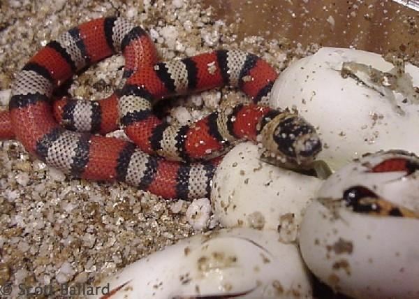 central Nicaraguan hondurensis hatching