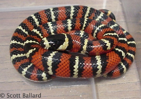 Milk Snake, uploaded by kingsnake.com user sballard