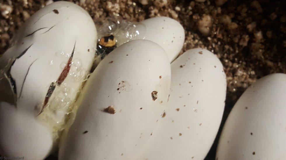 central Nicaraguan hatching 2016