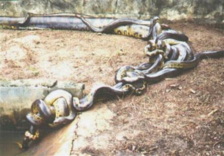 Green anaconda breeding ball, wild caught