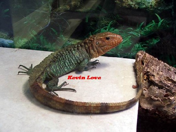 Male Caiman Lizard (another pic of #1)