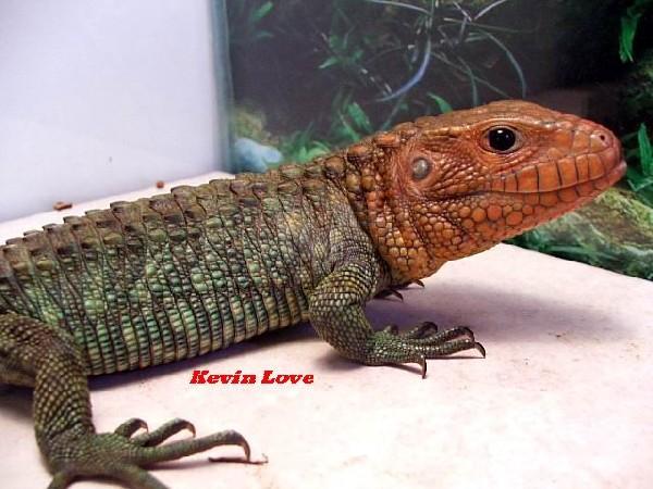 Male Caiman Lizard (#1 again)