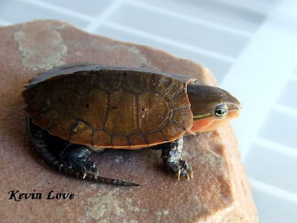 Big-Headed Turtle, uploaded by kingsnake.com user stingray