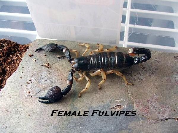 Heterometrus Fulvipes female