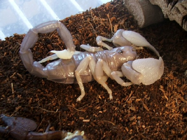 Another swammer molted