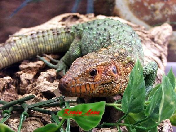 Caiman lizard 09