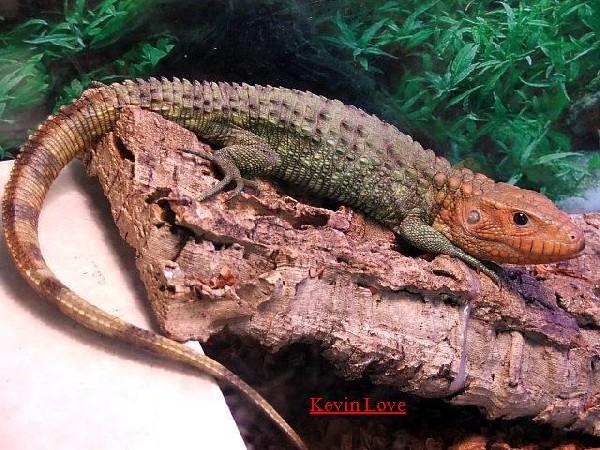 Male Caiman Lizard #1