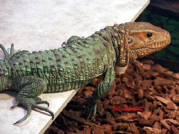 Male Caiman Lizard  #2