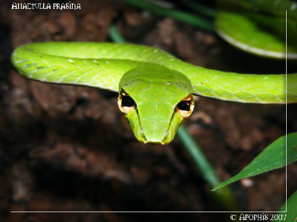Asian Vine Snake, uploaded by kingsnake.com user apophis