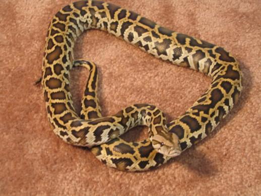 kingsnakecomphoto gallery gt burmese pythons gt triple het