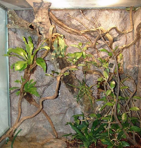terrarium for Thrasops jacksonii