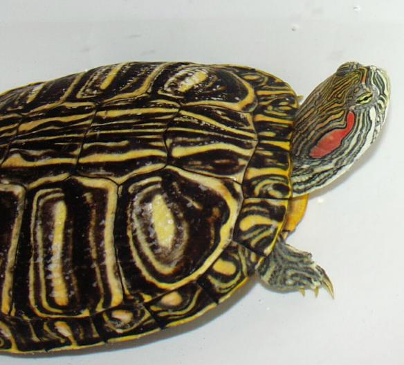Photo: Red Ear Slider