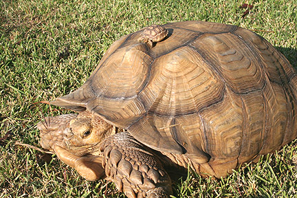Photo: sulcata tortoise