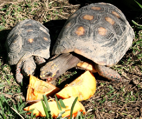 Photo: red-footed tortoise