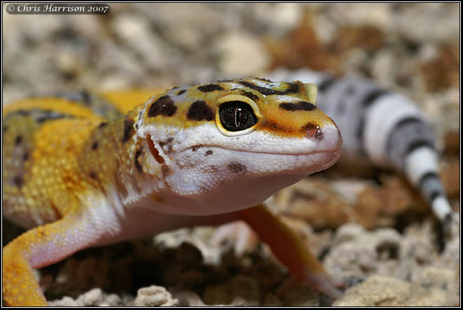 Photo: Leopard Gecko