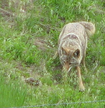 coyote and rattler
