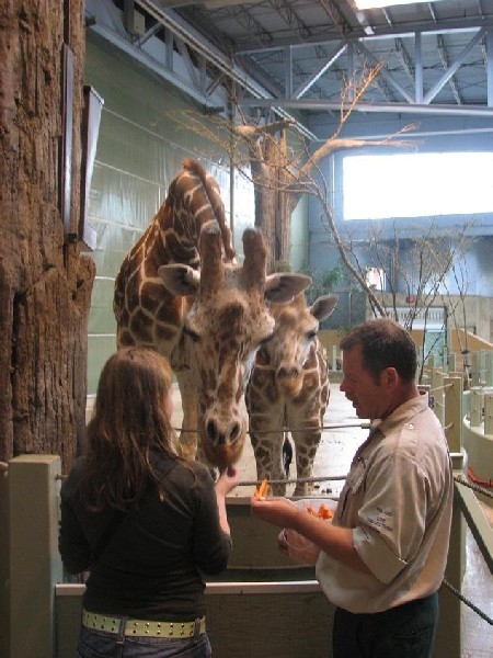 feeding giraffes at Calgary Zoo