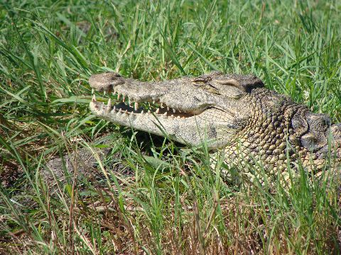 Nile crocodile showing head structure