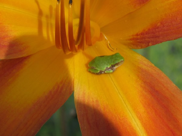 Chillin' on a Lilly