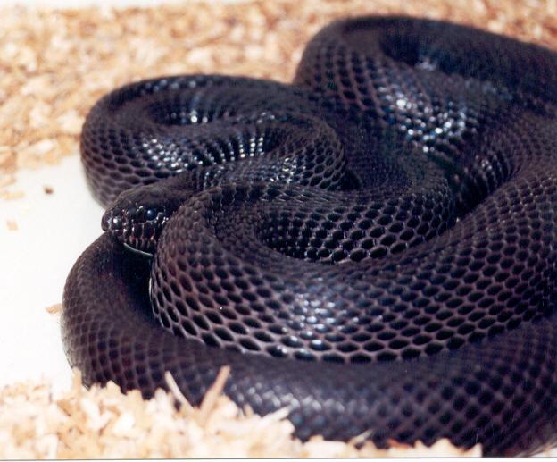 kingsnake.comphoto gallery > Bull/Gopher/Pine Snakes ...