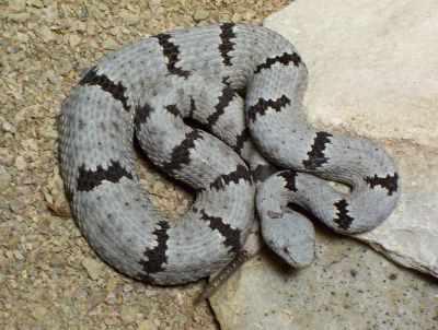 Kingsnake com Classifieds > Venomous Snake Classifieds