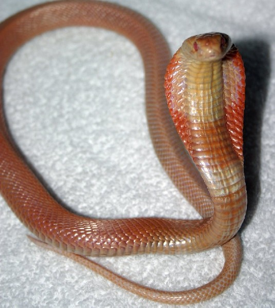 Albino Monocled Cobra, uploaded by kingsnake.com user herpetology16